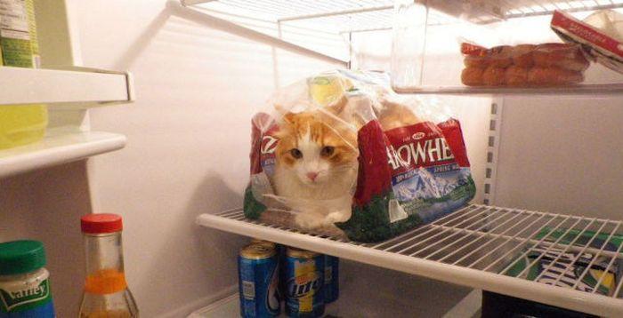 冷蔵庫入り猫