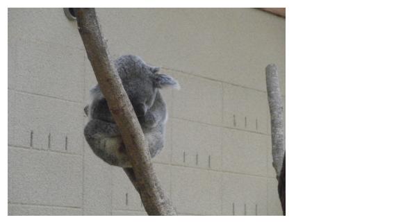 panda-koara0820140807