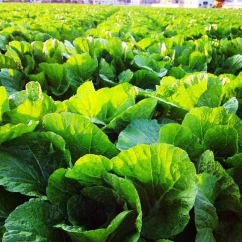 野菜2 (800x800)